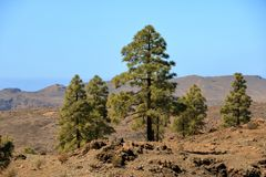Canary Island pine forest in the interior of the Gran Canaria Island, Spain. Canary Island pine forest in the interior of the Gran Canaria Island in Spain stock image