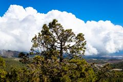 The Canary island pine Pinus canariensis growing on the mountain with the blue sky background - Tenerife, Canary islands, Spain. Canary island pine Pinus stock images
