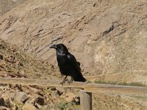 Canary Island Ravens seen on Fuerteventura in Spain Royalty Free Stock Photo