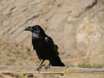 Canary Island Ravens seen on Fuerteventura in Spain Royalty Free Stock Photos