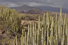 Volcanic landscape with cactus plants Tenerife Canary Islands royalty free stock photo