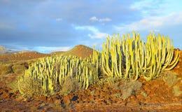 Canary Island spurge Stock Photos