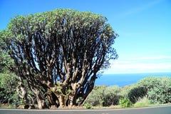Canary island spurge Stock Photography