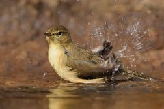 Canary Islands Chiffchaff - Phylloscopus canariensis Royalty Free Stock Photos
