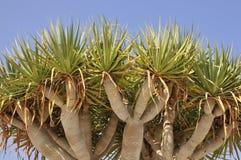 Canary Islands Dragon Tree Royalty Free Stock Photo