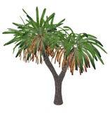 Canary Islands dragon tree or drago, dracaena draco - 3D render Royalty Free Stock Photography
