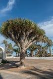 Canary Islands dragon tree Royalty Free Stock Photos