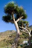 Canary Islands Dragon Trees Stock Images