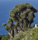 Canary Islands dragon trees Royalty Free Stock Photography
