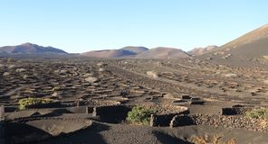 Canary Islands, Lanzarote: Vineyard in Volcanic Landscape. This unusual vista is actually of a vineyard.It was taken in January, so the vineyard looks even more stock photos