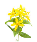 Canary Islands St. John's-wort. Yellow flowers of Canary Islands St. John's-wort isolated on white background Stock Photos