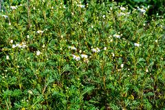 The scientific name of this plant is argyranthemum adauctum. The canary margerite is endemic and can be found on la palma, tenerife and la gomera stock photo