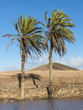 Canary Palm Trees on the Canary Islands. Royalty Free Stock Photos