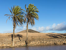 Canary Palm Trees on the Canary Islands. Stock Images