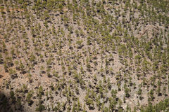 Canary pine trees in the mountains of Gran Canaria Royalty Free Stock Photography