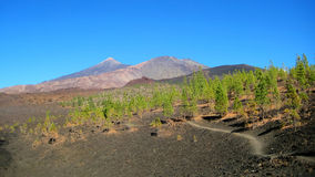 Canary pine trees surviving in lava fields (Tenerife, Spain). Pinus canariensis, the Canary Island pine, is native and endemic to the  Canary Islands. They Royalty Free Stock Images