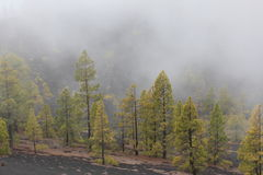 Canary pines in foggy volcanic landscape Royalty Free Stock Photography