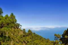 Canary Pines La Palma in Caldera de Taburiente Stock Photo