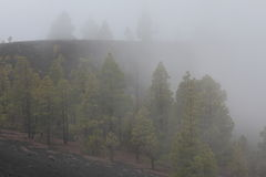 Canary pines in volcanic landscape in fog Stock Images