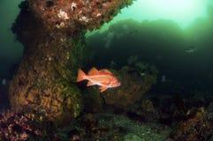 Canary Rock Fish Royalty Free Stock Photo