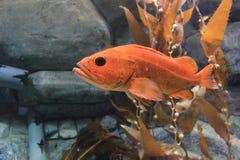 Canary rockfish Stock Photo