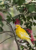 Canary, (Serinus canaria domestica Royalty Free Stock Photo