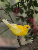Canary, (Serinus canaria domestica Stock Photo