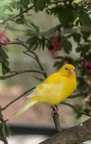 Canary, (Serinus canaria domestica Stock Photography