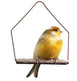Canary (Serinus canaria) on Swing Royalty Free Stock Image