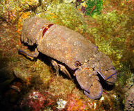 Free Canary Slipper Lobster Royalty Free Stock Photos - 30786798