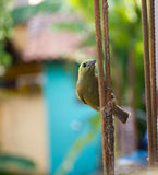 Canary in urban territory Royalty Free Stock Photography