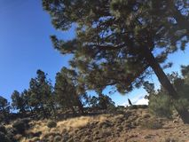 The Canary woods over clouds. The Canary pine, volcanic soil, trees - a landscape over clouds Stock Image