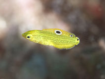 Canary wrasse. In Bohol sea, Phlippines Islands Stock Image