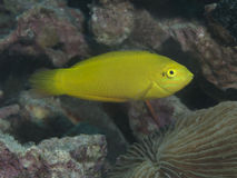 Canary wrasse. In Bohol sea, Phlippines Islands Stock Images