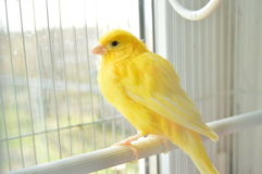 Canary. Yellow canary in the cage on the window sill royalty free stock photography