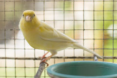 Canary yellow Royalty Free Stock Photos