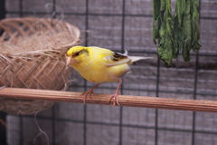 Canary yellow nest comes from asia Royalty Free Stock Photos