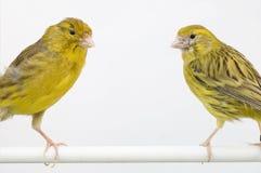 Canarys comunes Foto de archivo libre de regalías