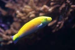 Canarytop濑鱼 免版税库存照片