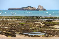 Cancale low tide oysters stock photo