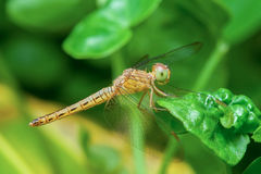 Cancellatum de cauda negra de Orthetrum da libélula da espumadeira Foto de Stock Royalty Free