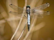 cancellatum dragonfly orthetrum Obraz Royalty Free