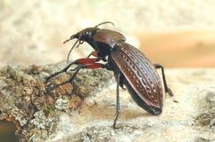 Cancellatus de Carabus del escarabajo Imagen de archivo libre de regalías