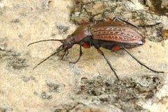 Cancellatus de Carabus del escarabajo Foto de archivo libre de regalías