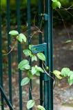 Cancello con l'edera Fotografia Stock