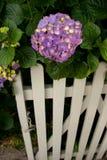 Cancello di giardino del Hydrangea Fotografia Stock