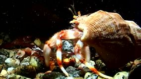 Cancer hermit crab drags shell underwater in search of food of White Sea.