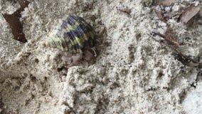 Cancer hermit runs. On a sandy beach in Thailand stock video