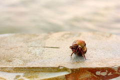 Cancer hermit in a shell on a rock against the sea Stock Images