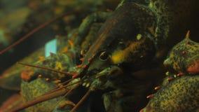 Cancer lives in an aquarium. Cancer clicks in a glass aquarium stock footage